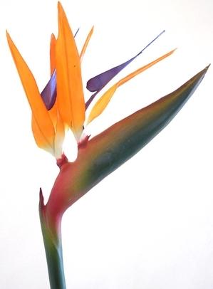 ストレリチア ごくらくちょう 極楽鳥花